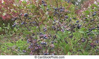 blueberries bush - close up of ecologically grown...