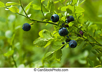 Blueberries in forest.