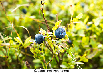 Blueberries on a branch in the green grass in the forest