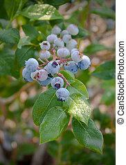 Blueberries on the Bush_0296 - Sweet blueberries ripe for...