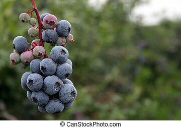 Blueberries - A bunch of high-bush blueberries at Blue Berry...