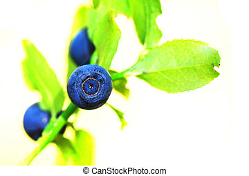 blueberries plant with fruit
