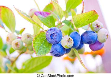ripening berries on a bush