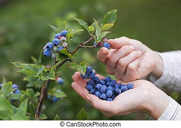 Blueberries - Women picking ripe blueberries close up shoot