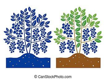 blueberry, 식물