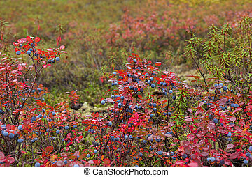 Blueberry bushes in autumn