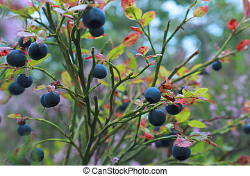 Blueberry bushes on the background of a blurred forest