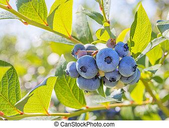 Blueberry Close-up