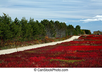 Blueberry Fields Forever - blueberry field in Maine