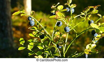 blueberry in forest close-up