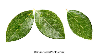 Blueberry Leaves