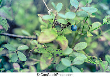 Blueberry plants with green leaves on the ground
