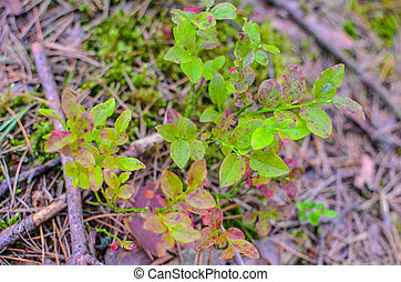 Blueberry plants with green leaves on the ground, view from about
