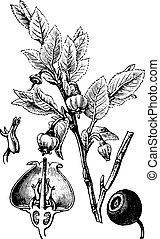 Blueberry, vintage engraving. - Blueberry, vintage engraved...