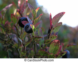 Blueberry - Wild blueberry closeup in the mountain