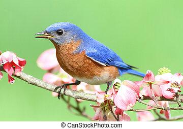 bluebird , ανατολικός