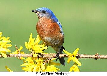 bluebird, 東