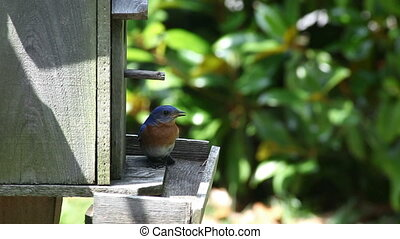 Bluebird And Birdhouse - bluebird sitting on a perch of a...