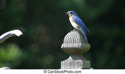 Bluebird Closeup - close up shot of a bluebird sitting on a...
