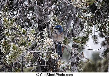 Bluebird in Snowy Tree