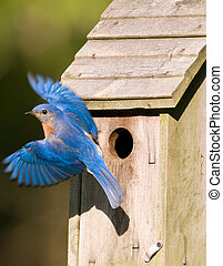 An eastern bluebird leaves its birdhouse. Box is sharp and motion blur in bird.