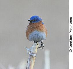 Bluebird on a Corn Stalk - Male Eastern Bluebird perched on...