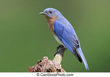 Bluebird On A Stump