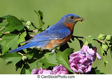 bluebird oriental