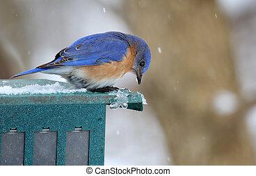 Bluebird with Falling Snow