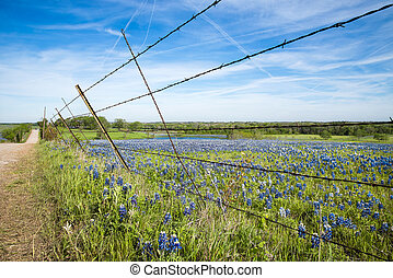 Bluebonnet field in Texas spring