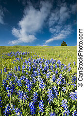 Bluebonnet Fields in Palmer, TX