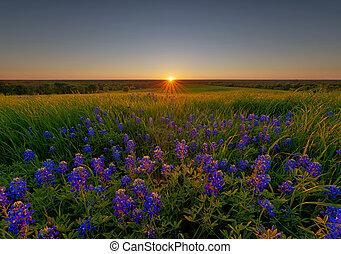 bluebonnet, flores, ennis