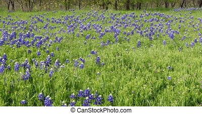 bluebonnet, meadow., цветы