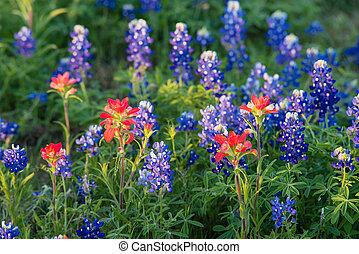 bluebonnet, wildflowers, indio, tejas, brocha