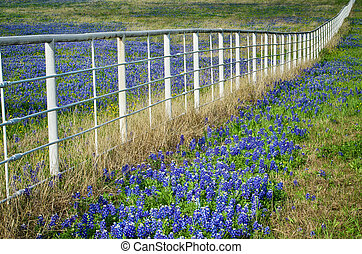 Bluebonnets and white fence