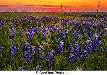 Bluebonnets at Sunset near Ennis, TX