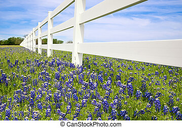 Bluebonnets blooming along a white fence in spring