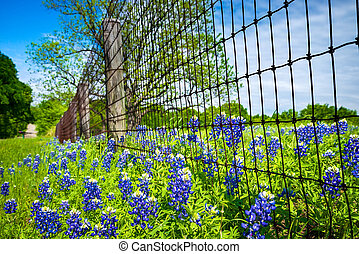 Bluebonnets blooming along country road and fence in Texas spring