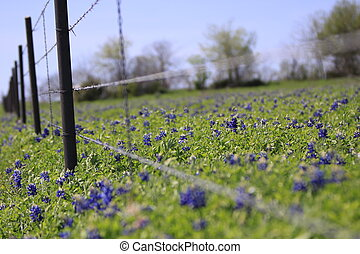 Bluebonnets in Spring