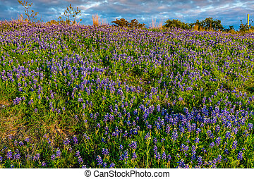 Bluebonnets on a Texas Hillside.