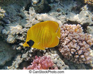 Bluecheek butterflyfish, Chaetodon semilarvatus from the Red Sea