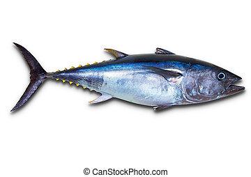 bluefin, elszigetelt, friss tuna, fehér, really