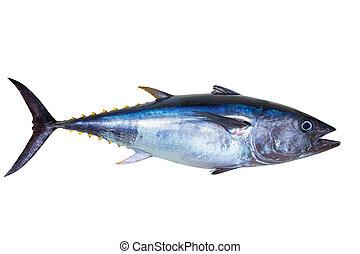 bluefin, odizolowany, świeży tuna, biały, really