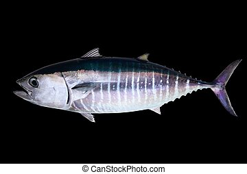 Bluefin tuna isolated on black background