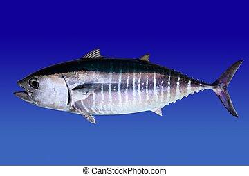 Bluefin tuna isolated on blue background