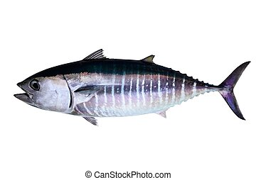 Bluefin tuna isolated on white background real fish Thunnus...