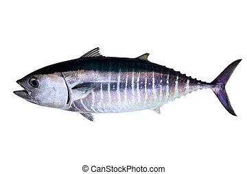 Bluefin tuna isolated on white background real fish Thunnus...