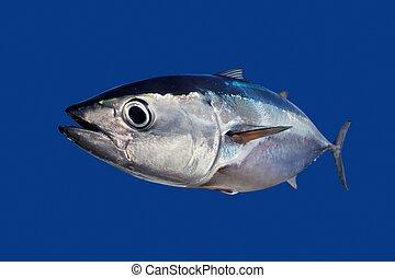 Bluefin tuna Thunnus thynnus fish isolated on blue background