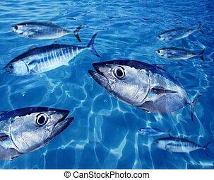 Bluefin tuna Thunnus thynnus fish school underwater swimming...