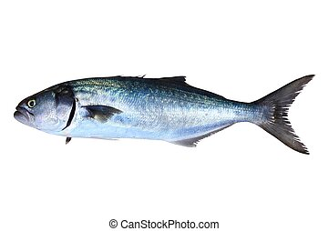 bluefish, pomatomus, odizolowany, fish, saltatrix